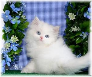 for sale persian kitten