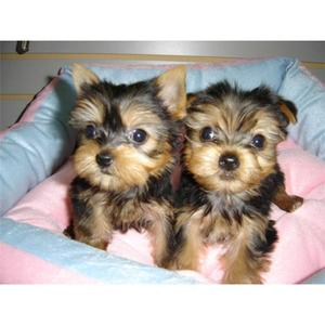 Las Vegas Indooroutdoor T Cup Yorkie Puppies Available Now For Free